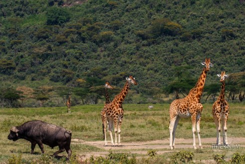 A black buffalo among the giraffes in Nakuru Lake National Park