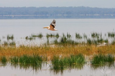 Great white pelican flying over Nakuru Lake, Kenya