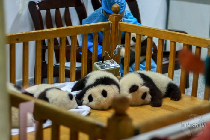 baby pandas sleeping in a small enclosure