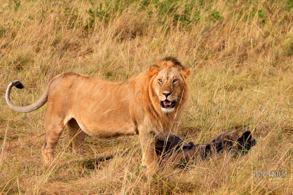 a young lion with its kill in a safari in Masai Mara