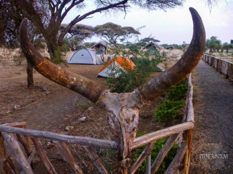Male impala skull at our camp