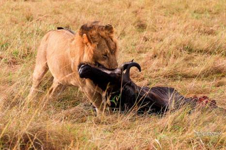 Lion holding the wildebeest throat in the wild