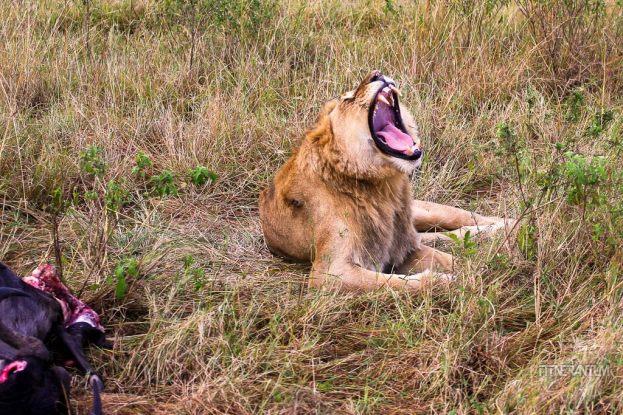 A big lion yawning next to its kill