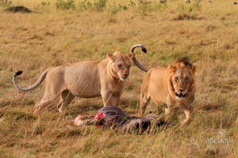 a lion couple with a kill in the safari