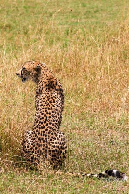 a cheetah preparing for a hunt