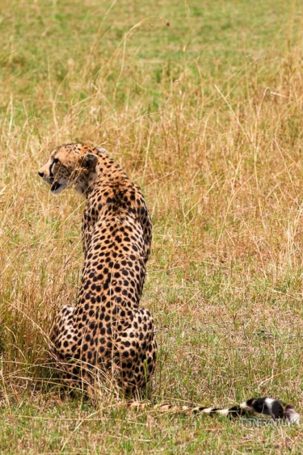 a cheetah preparing for a hunt