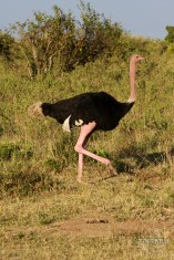 an ostrich in Masai Mara safari