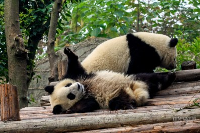 Panda playing at Chengdu research center