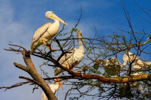 Pelicans on a tree in Nakuru National Park