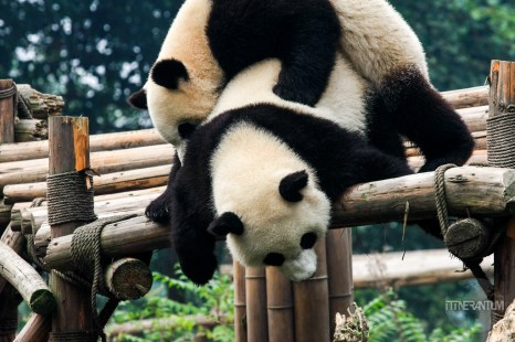 two panda bears palying