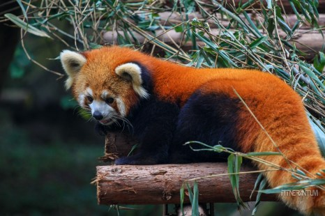 Red panda at Chengdu research center