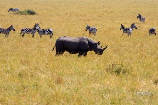 a black rhino with zebras in the background seen in a safari in Masai Mara