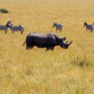 a black rhino with zebras in the background seen in a safari in Masai Mara