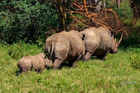 a rhino family in Lake Nakuru National Park