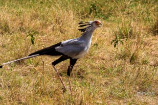 Secretary bird in Masai Mara