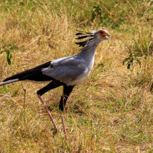 Secretary bird in Masai Mara