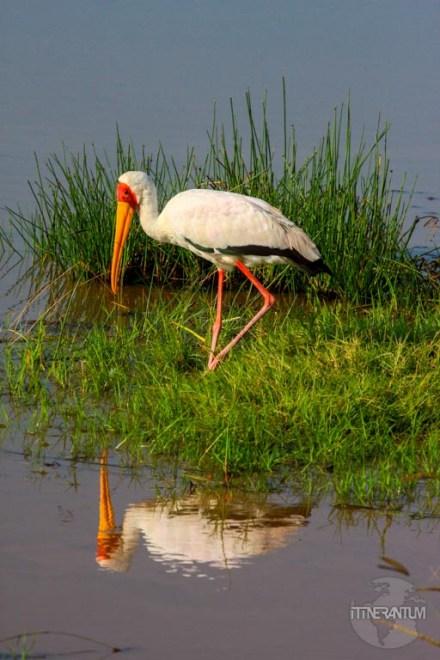 One of the many type of birds sitting around the Nakuru Lake National Park in Kenya.