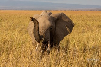 Young elephant with the trunk up, at Amboseli
