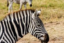 a zebra head shot in Masai Mara Gama Reserve