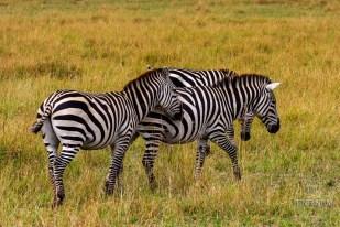 a group of zebras on a safari in Masai Mara