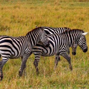 a group of zebras on a safari in Masai Mara