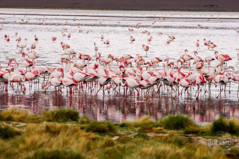 Salar de Uyuni 3 day trip, pink flamingos at a lagoon