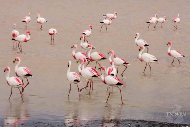 pink flamingos, Salar de Uyuni 3 day trip