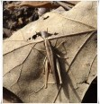 Camo Grasshopper