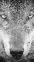 Download Wallpaper Gray Wolf Wallpaper Iphone #370177 HD Wallpaper & Backgrounds Download