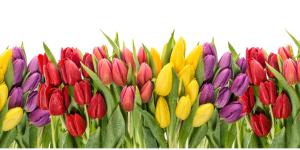 Tulips for Wellness Wednesday
