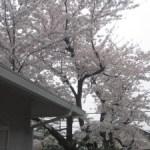 桜の花は散り際が美しいけれど…