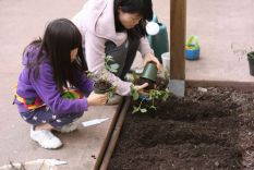 Planting the strawberries
