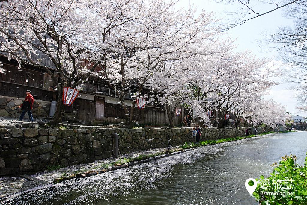 《京都賞櫻攻略》染井吉野櫻吹雪後的賞櫻行程對策:錯過滿開的錦囊妙計