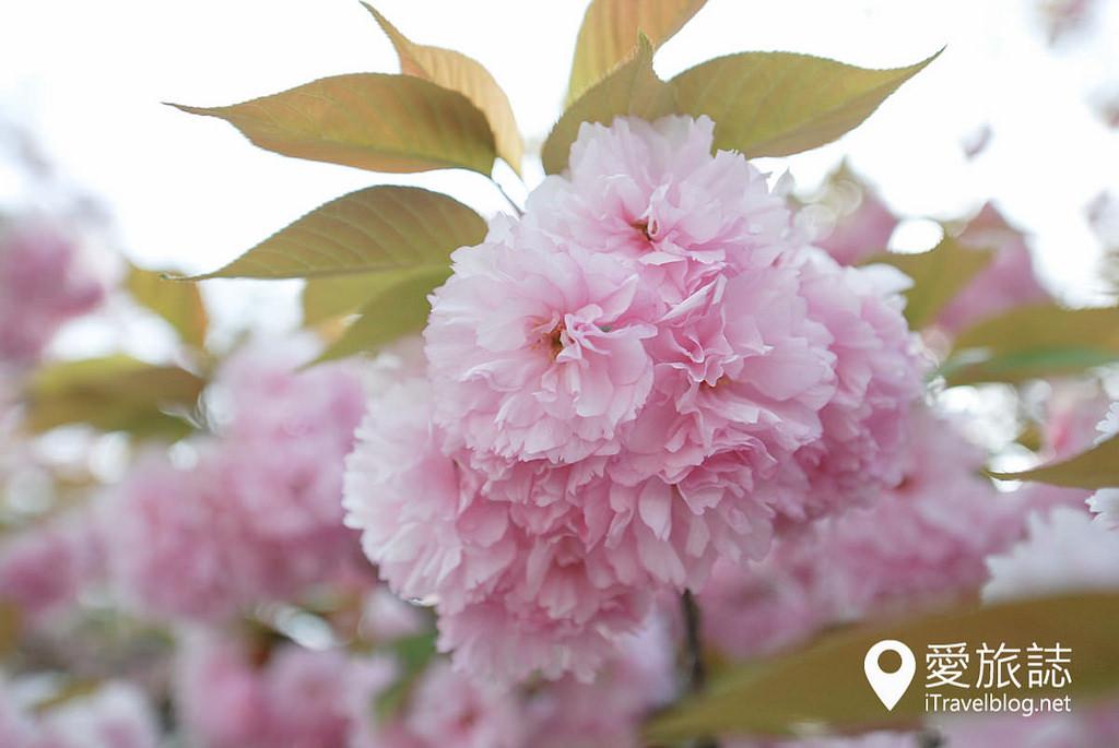 《京都賞櫻景點》元離宮二条城:櫻花種類豐富的後滿開時期經典景點