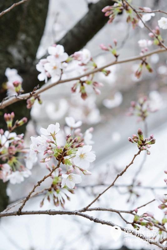 《京阪奈賞櫻攻略》11天賞櫻行程總整理:關西櫻花名所集滿