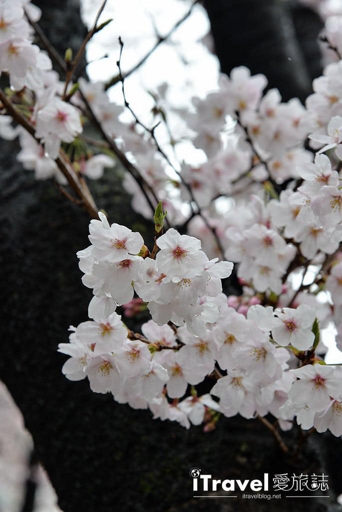 《京都賞櫻景點》二訪祇園白川賞吉野櫻花盛開,順遊行程心得分享