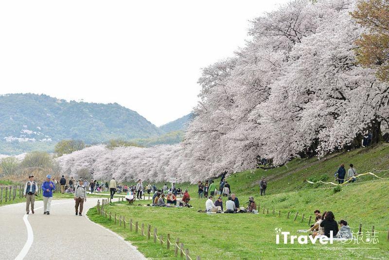 《京都賞櫻景點》八幡市背割堤:絕美櫻花林道的盛開與吹雪