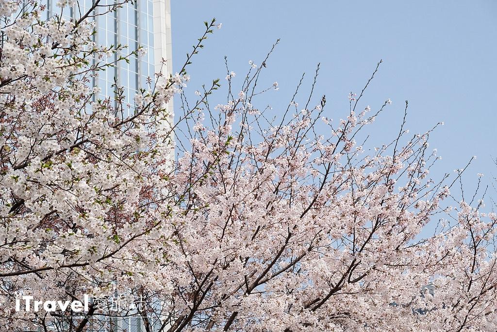 《首爾賞櫻景點》石村湖:樂天世界塔旁環湖櫻花綻放,2017年首爾新地標賞櫻首選。