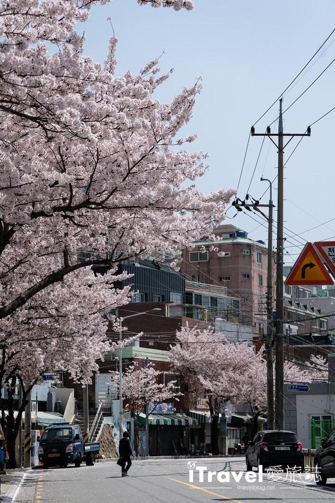釜山賞櫻景點 東大新洞望洋路 (22)