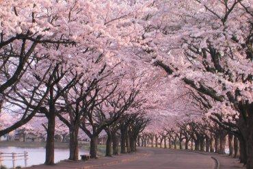 Οι κερασιές στην Ιαπωνία φέρνουν την Άνοιξη - iTravelling