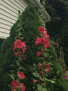 Hollyhocks & Evergreens