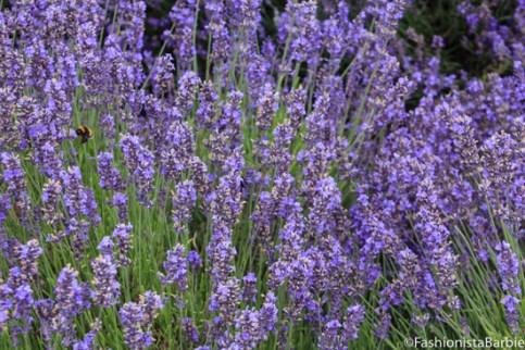 lavender-farm-very-dress-30
