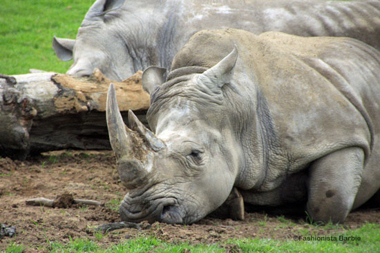 rhino,longleat,animal,day trip,uk