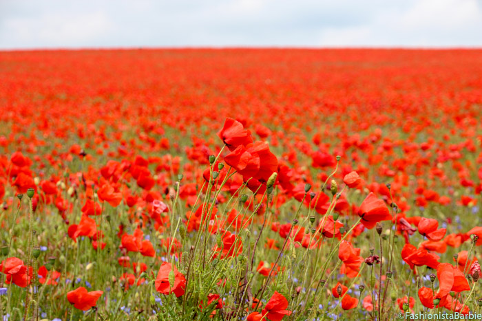 poppies, poppy, red, field of poppies, poppy field, red field,