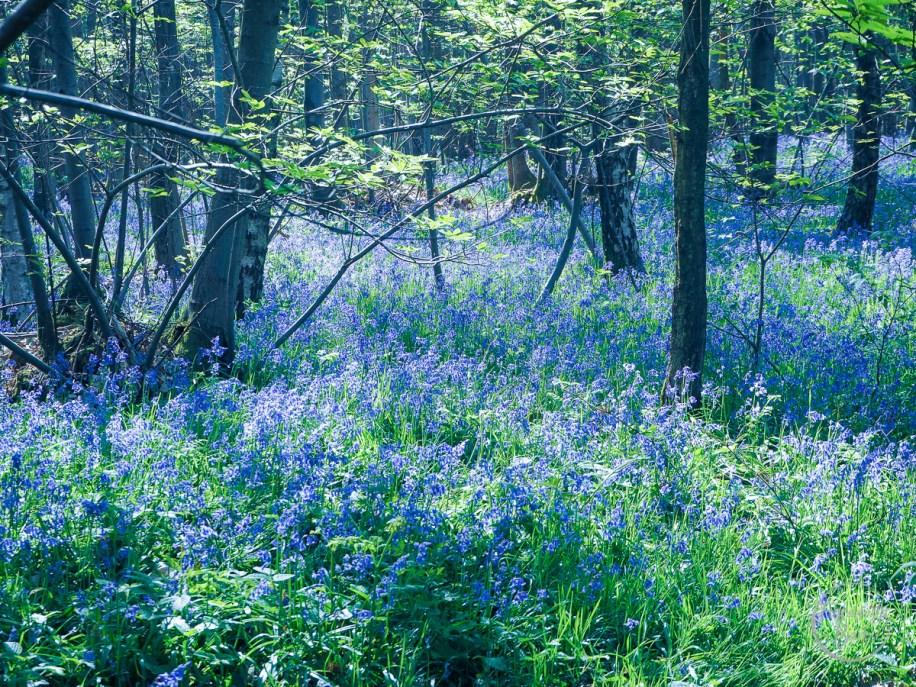 bluebell wood, bluebells