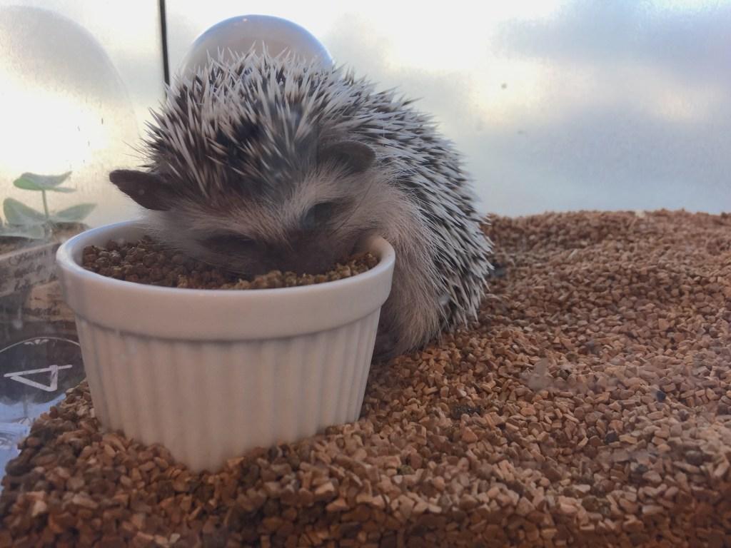 hedgehog fallen asleep in food cafe japan