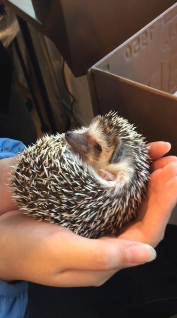 holding hedgehog in my hand hedgehog cafe japan