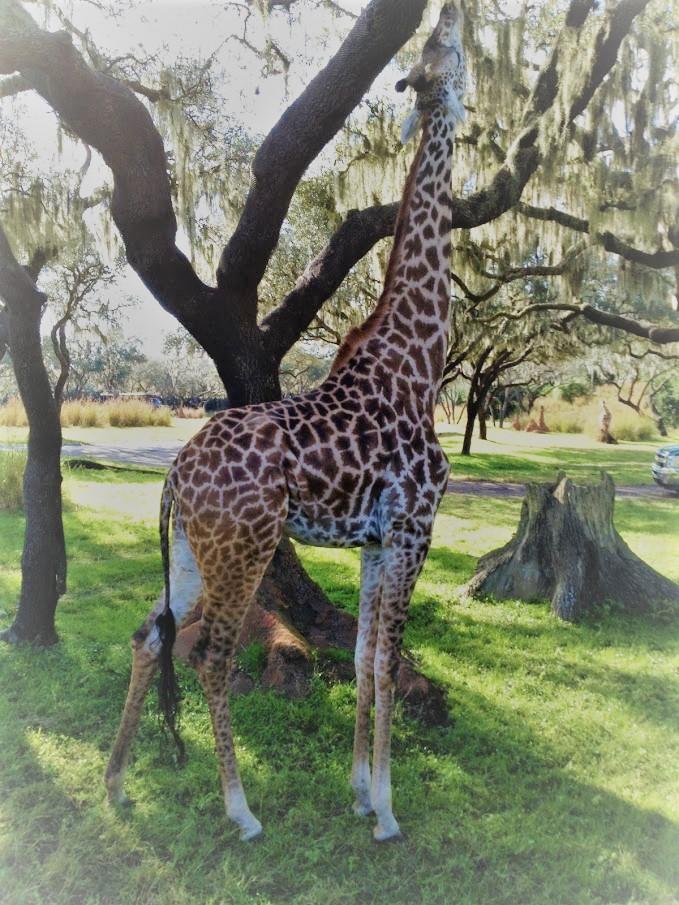 giraffe from safari trek in disneyworld animal kingdom