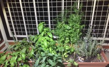 herb plants 3 months later basil cilantro lavender parsley