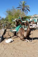 gran-canaria-maspalomas-kamele